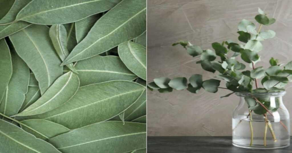 Eucalyptus, Medinal mayan plant